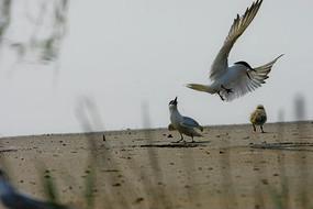 岸上的栖落的鸥嘴噪鸥