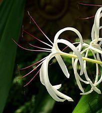 白色丝兰花