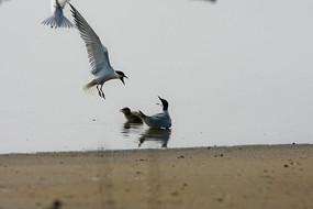 水中喜欢吵闹的鸥嘴噪鸥