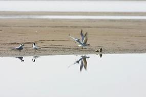 滩涂上鸥嘴噪鸥