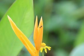 一只蚂蚁与天堂鸟花的缘分