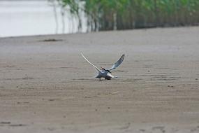 在滩涂孵化的鸥嘴噪鸥