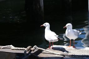 港口一对海鸥