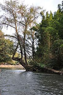 九曲溪上横着的老树