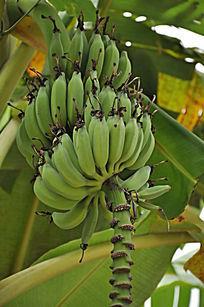 绿色的香蕉