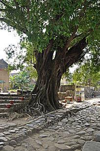 茁壮生长的大榕树