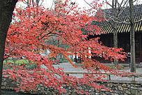 美丽的枫树