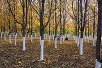 秋天的枫树林