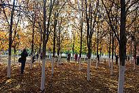 深秋枫树林