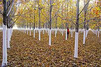 一片枫树林