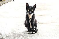 蹲在地上的乖乖黑猫V形白毛