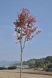 一棵红色叶子的树