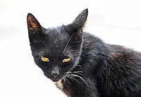 怒视前方的黄眼睛黑猫