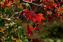 香山红叶和绿色叶子黑色枝干苍劲