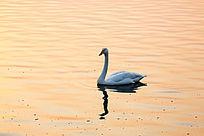 夕阳下一只孤独的天鹅游荡在金色湖面