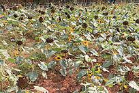 I阳光下的土地生长的向日葵苗
