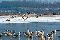 冬季野生鸿雁