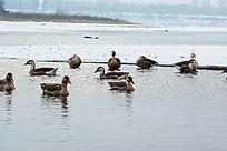 河水中野生鸿雁
