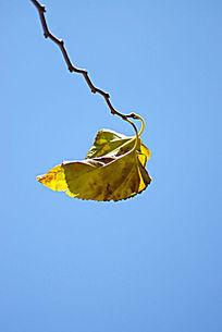 蓝天背景的一片枯叶