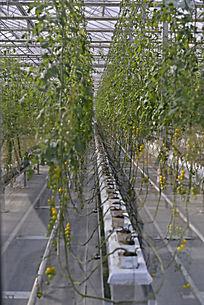 农业科技馆里的蔬菜