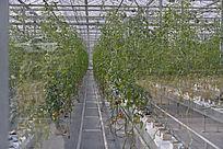 农业科技馆里培植的蔬菜