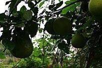 结满柚子树的柚子枝叶