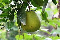 新鲜柚子树柚子枝叶