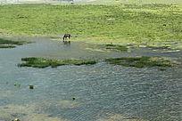 西藏蓝天白云的大草原河边的马
