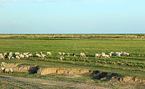 西藏蓝天白云草原上羊群