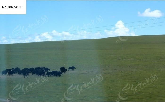 西藏蓝天白云大草原牛群图片