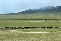 西藏蓝天白云大草原牛群