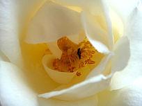 花蕊的黄玫瑰