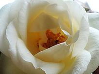 昆虫采蜜的黄玫瑰