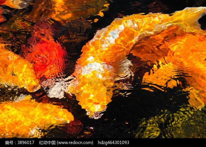 金色大鲤鱼图片