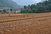 乡村成熟的小麦收割