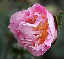 露出花花蕊的粉色茶花