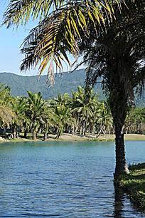 水边的棕榈树