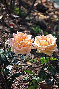 两朵亲密无间的黄玫瑰