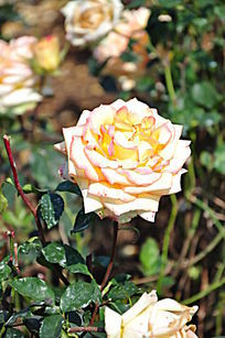 玫瑰园里的黄玫瑰