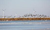 冬季黄河故道万鸟飞翔