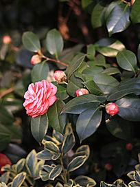 粉色茶花和花苞