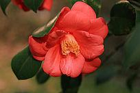 粉色茶花花蕊