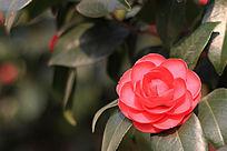 粉色盛开茶花