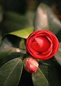 红色茶花花苞