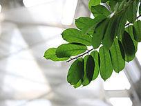 箭毒木树叶