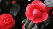 盛开的粉茶花