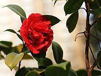 盛开的红茶花