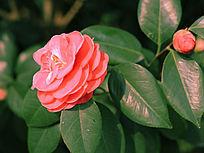 盛开中的粉色茶花