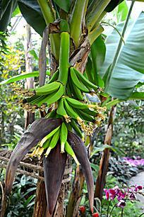 生长中的香蕉
