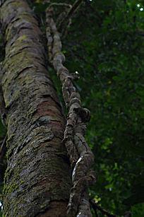 原始森林中共同生长的树和藤